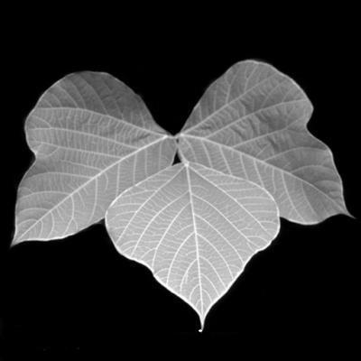 kudzu-leaf-copy