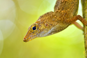 ART+BIO-Collaborative-ISLAND-LIFE-Anolis-Nava